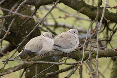 Pair of Collared Doves. (Streptopelia decaocto) sitting close on a branch Royalty Free Stock Photography