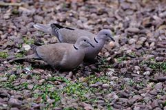 Pair of Collared Doves. Stock Photo