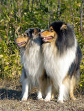 Pair collie Royalty Free Stock Photos
