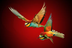 Pair colored birds and hearts shape concept for Valentine`s Day Stock Photos