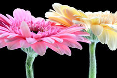 Pair of Colorful Gerbera marigold Royalty Free Stock Images