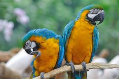 A Pair of Colorful Macaws. Perched on a tree branch Stock Photos