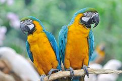 A Pair of Colorful Macaws. Perched on a tree branch Royalty Free Stock Photography