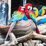 Pair of colorful Macaws parrots. Royalty Free Stock Images