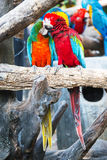 Pair of colorful Macaws parrots. Royalty Free Stock Image