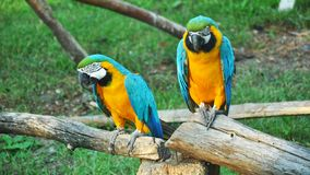 Pair of colorful Macaws parrots in zoo. Russia stock image