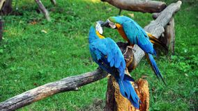 Pair of colorful Macaws parrots in zoo. Russia stock photography