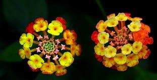 Beautiful pair of lantana camara flowers stock photography