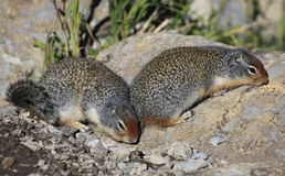 A Pair of Columbia Ground Squirrels  Foraging for Food Royalty Free Stock Images