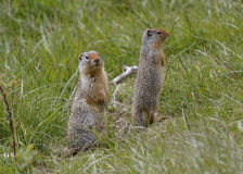 Pair of Columbian Ground Squirrels - Banff National Park, Canada. A pair of Columbian Ground Squirrels (Urocitellus columbianus) scan their surroundings for Stock Image