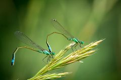 Pair of Common Blue Damselflies Royalty Free Stock Photography
