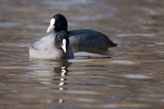 Pair of Common Coot on water Royalty Free Stock Photography