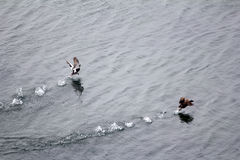 Pair of common eider taking off from water, lifting fountains of splashes Stock Image