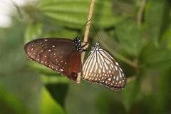 A pair of Common Indian Crow,  Euploea core, butterflies. Perched on a branch Stock Image