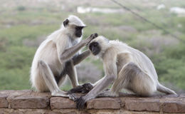 Pair of common Langur's in india Stock Image