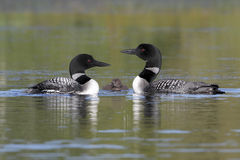 Pair of Common Loons Keeping Watch Over Their Baby Stock Photo