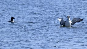 Common Loons on Lake In Illinois in Spring. A pair of common loons on a lake in Illinois are quite active in an apparent mating ritual.  I finishes with one loon Stock Photography