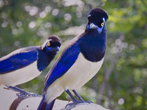 pair of common magpies (birds) Stock Images