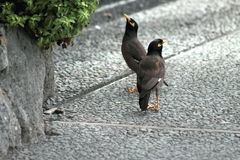 A Pair of Common Myna Birds stock photography