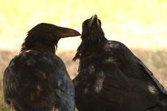 Pair Of Common Raven. A Common Raven pair perked up and curious in Colorado Royalty Free Stock Photos