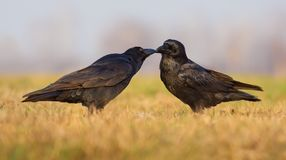 Male and female Common Ravens touch beaks and care for each other in the early day royalty free stock photo
