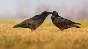 Male and female Common Ravens touch beaks and care for each other in the meadow stock images