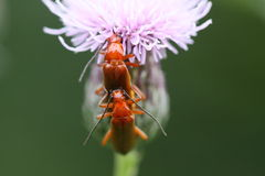 Pair of common red soldier beetles. The common red soldier beetle, Rhagonycha fulva, is a species of soldier beetle (Cantharidae Stock Photos