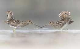 Pair of Common Snipe in love. Common Snipe in love in misty morning