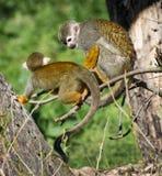 Pair of a Common squirrel monkey (Saimiri sciureus). On the tree Royalty Free Stock Images