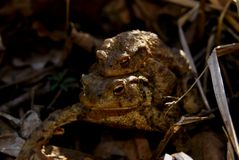 Pair of common toads Royalty Free Stock Photo