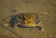 Pair of common toads clinging in water. Pair of common toads (bufo bufo) clinging in water Stock Photography