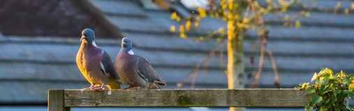 Pair of common wood doves sitting next to each other, common birds of europe royalty free stock images