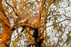 A pair of common wood pigeon stock photo