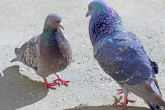 Pair of cooing pigeons Royalty Free Stock Photography
