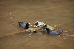 Pair of coots with chicks Royalty Free Stock Image