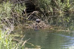 Pair of coots Fulica atra Royalty Free Stock Photo