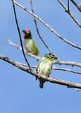 Pair of Coppersmith Barbet birds Stock Images