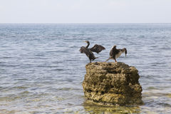 Pair of cormorant Stock Image