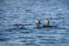 Pair of cormorants Stock Photography