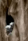 Pair of Cotton-Top Tamarins Royalty Free Stock Images