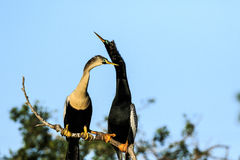 Pair of Courting Anhingas. This image of a pair of courting Anhingas was captured at the rookery in Venice, Florida. The photograph was taken during the winter stock photography