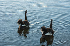 Pair of courting black swans Royalty Free Stock Image