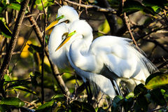 Pair of Courting Great Egrets. This image of a pair of courting Great Egrets was captured at the Green Cay Wetlands in Delray Beach, Florida. The photograph was royalty free stock images