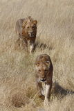 A pair of courting lions walking in Etosha Royalty Free Stock Photography
