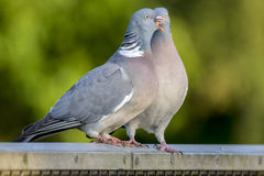 A Pair of Courting Wood Pigeons Royalty Free Stock Image
