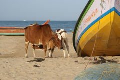 Pair of cows on the beach Royalty Free Stock Photos