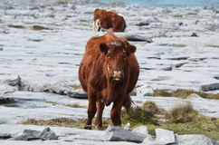 Pair of Cows Grazing on the Burren in Ireland Stock Images