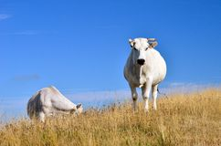 Pair of cows grazing on the hill Stock Photo