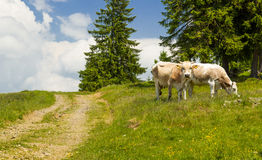 Pair of cows grazing Royalty Free Stock Photography