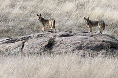 Pair of Coyotes on an a Rock Royalty Free Stock Images